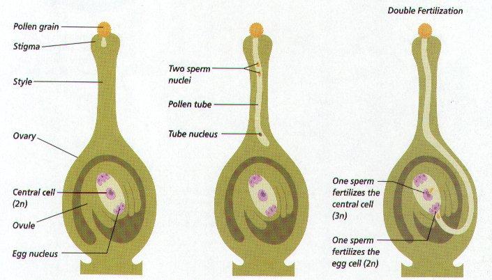 Double Fertilization In Plants