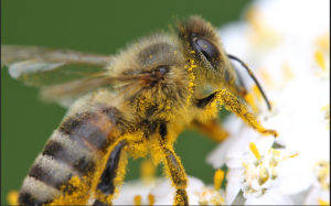 Bee covered in pollen Photo credit Flickr user: solar.empire