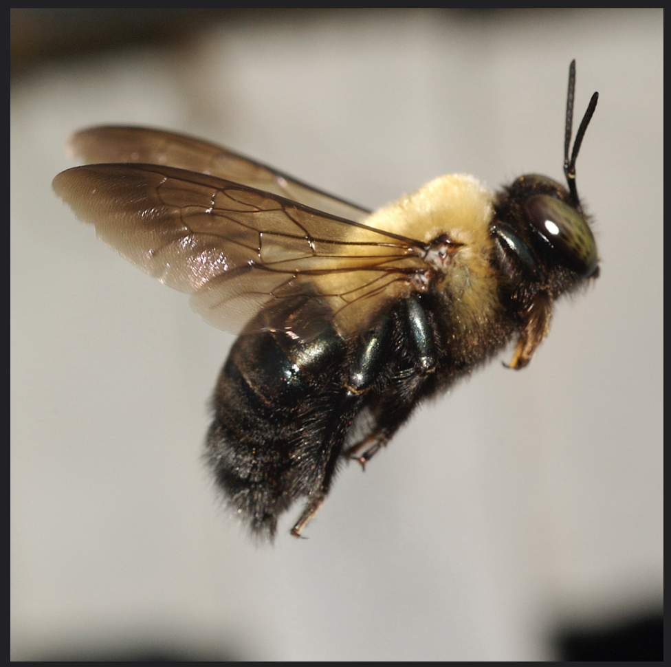 Black Bumble Bee >> Apidae – Carpenter bees, Squash bees, Blueberry bees ...