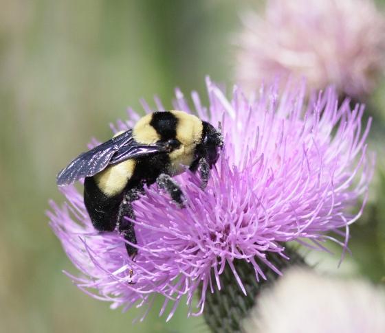 Bombus fraternus Photo credit: Aaron Breeshttp://bugguide.net/user/view/27164