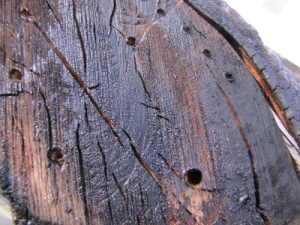 Nesting inside old stumps or logs