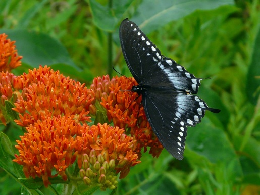 Butterfly weed. Photo Credit: Ron Grundwald, herptrips.com