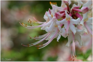 Sweet Mountain azalea Photo Credit: Doreen Montis, Flickr user: D. Montis, LIt Bird