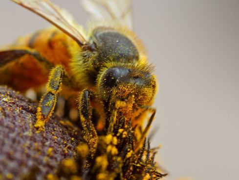 Bee pollinating Credit: Wikipedia Commons